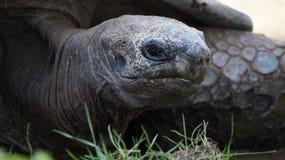 Tortuga gigante Fotos de archivo libres de regalías