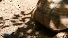 Tortuga gigante de Aldabr o de Seychelles en el parque del parque zoológico de Dusit o de Wana del dinar de Khao en Bangkok, Tail metrajes