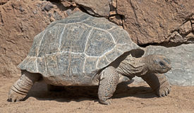 Tortuga gigante 4 de Aldabra Imagen de archivo libre de regalías