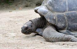 Tortuga gigante de Aldabra Fotos de archivo