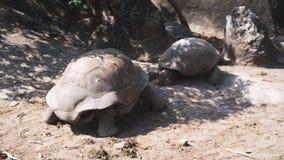 Tortuga gigante de Aldabra en naturaleza Dos animales almacen de metraje de vídeo