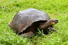 Tortuga gigante de las Islas Galápagos imagen de archivo
