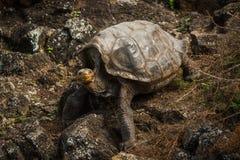 Tortuga gigante de las Islas Galápagos que sube abajo la cuesta rocosa Imagen de archivo libre de regalías