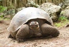Tortuga gigante de las Islas Gal3apagos fotografía de archivo