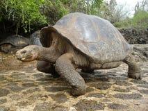 Tortuga gigante de las Islas Gal3apagos Imágenes de archivo libres de regalías