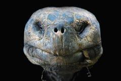 Tortuga gigante de las Islas Gal3apagos fotografía de archivo libre de regalías