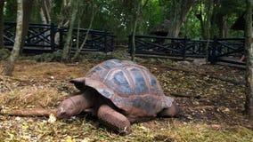 Tortuga gigante en la reserva en Tanzania en la isla de Zanzíbar almacen de video
