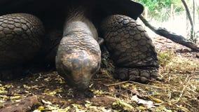 Tortuga gigante en la reserva en Tanzania en la isla de Zanzíbar metrajes