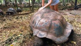 Tortuga gigante en la reserva en Tanzania en la isla de Zanzíbar almacen de metraje de vídeo