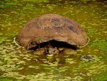 Tortuga gigante que toma un baño Foto de archivo libre de regalías