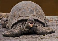 Tortuga grande de las Islas Galápagos Foto de archivo