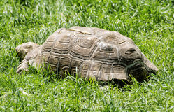 Tortuga grande que alimenta en la hierba verde, escena animal Foto de archivo
