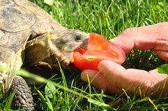 Tortuga hambrienta y rápida Imagen de archivo