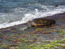 Tortuga hawaiana foto de archivo
