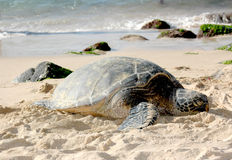Tortuga hawaiana imagen de archivo