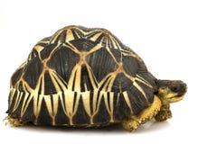 Tortuga irradiada Foto de archivo