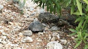 Tortuga mediterránea de la tierra que se arrastra en una cuesta rocosa almacen de video