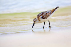 tortuga mockingbird залива Стоковая Фотография