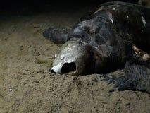 Tortuga muerta con el cráneo abierto imágenes de archivo libres de regalías