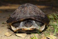 Tortuga negra india, trijuga de Melanochelys, Hampi, Karnataka, la India Tortuga de agua dulce mediana encontrada en Asia del Sur fotos de archivo