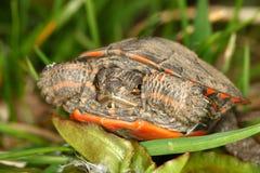 Tortuga pintada (picta del Chrysemys) Foto de archivo libre de regalías