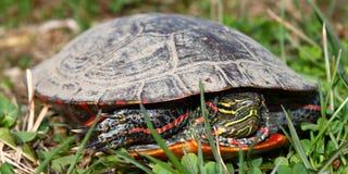Tortuga pintada (picta del Chrysemys) Fotografía de archivo