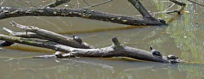 Tortuga que se calienta en el sol en tronco en el lago fotografía de archivo