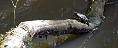 Tortuga que se calienta en el sol en tronco en el lago imagenes de archivo