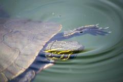 Tortuga que se hunde Foto de archivo
