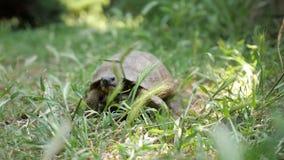 Tortuga que se mueve en hierba verde fresca a la cámara metrajes