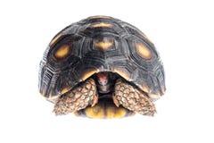 tortuga Rojo-con base Fotografía de archivo