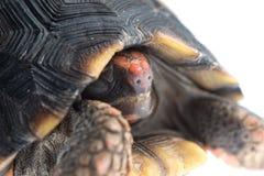 tortuga Rojo-con base Fotos de archivo