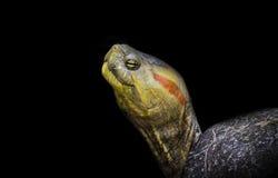 tortuga Rojo-espigada Imagenes de archivo