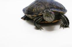 Tortuga Rojo-Espigada del resbalador Foto de archivo