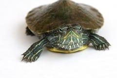 tortuga Rojo-espigada del resbalador. Fotografía de archivo