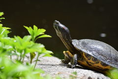 tortuga Rojo-espigada del resbalador Imagen de archivo libre de regalías