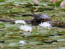 tortuga Rojo-espigada del resbalador con los lirios de agua Foto de archivo libre de regalías