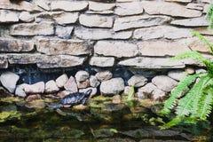tortuga Rojo-espigada en una charca Fotografía de archivo libre de regalías