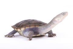 Tortuga serpiente-necked de Nueva Guinea, novaeguineae de Chelodina foto de archivo libre de regalías