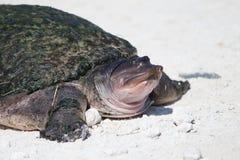 Tortuga suave de la cáscara de la Florida Fotografía de archivo libre de regalías