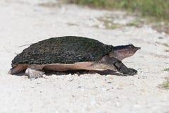 Tortuga suave de la cáscara de la Florida Imagenes de archivo