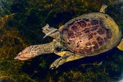 Tortuga suave del shell Imagen de archivo