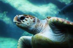 Tortuga, subacuático, acuática, océano, greenturtle en peligro imágenes de archivo libres de regalías