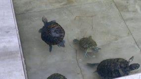 Tortuga, tortuga del agua Fotos de archivo libres de regalías