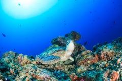 Tortuga verde con el Remora en un arrecife de coral tropical Imagen de archivo libre de regalías