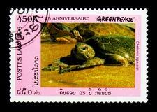 Tortuga verde de las Islas Galápagos (agassizii) del Chelonia, 25to aniversario de Foto de archivo libre de regalías