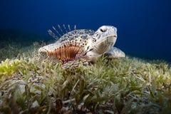 Tortuga verde e hierba del mar Imagenes de archivo
