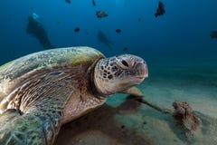 Tortuga verde (mydas del chelonia) en el Mar Rojo. Fotografía de archivo libre de regalías