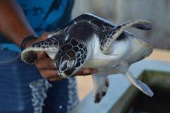 Tortuga verde - vida salvaje - coral imagenes de archivo