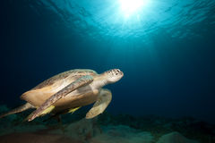 Tortuga verde y océano. Fotografía de archivo